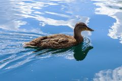 Wild duck floats on water. Perfect lovely bird. The world of animals around Stock Images