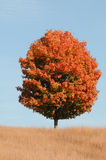 Perfect Maple Tree. A perfect lone tree in the autumn surrounded by a field of golden grass Stock Images