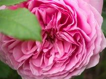 Perfect menchii róży płatki Zdjęcie Stock