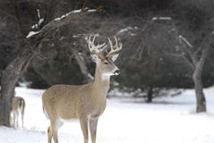 Perfect Michigan 10 pointer. Nice buck looking across orchard at a possible mate Stock Images