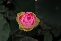 Perfect Odgórny widok Piękny Różowy Lotus Obrazy Royalty Free