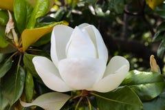 Perfect ogromny biały magnoliowy okwitnięcie na drzewie obraz stock