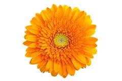 Perfect Orange Gerbera Stock Photography