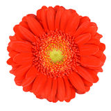 Perfect Orange Gerbera Flower Isolated on White Stock Image