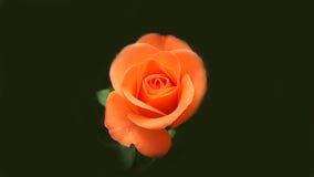 Perfect orange rose. Perfect fresh orange rose on black background stock image