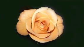Perfect orange rose. Perfect fresh orange rose on black background stock photography