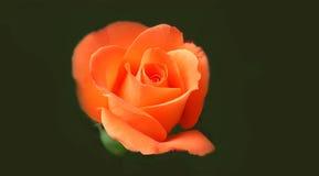 Perfect orange rose. Perfect fresh orange rose on dark green background stock images