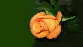 Perfect orange rose. Perfect fresh orange rose on dark green background royalty free stock images
