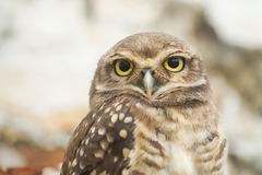 Perfect Owl. Young owl looking to you Stock Photography