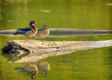 Perfect Pair. A Drake and a hen wood duck sitting on an old log in a small pond Stock Image