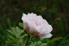 Perfect Pale Pink Peony Flower Blossom in een Tuin royalty-vrije stock foto