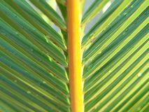 A Perfect Palm Leaf. Caught a nice shot of this palm leaf, extracting its natural & vivid colors after a rainfall Royalty Free Stock Photos