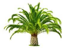 Perfect palm tree isolated on white Royalty Free Stock Photos