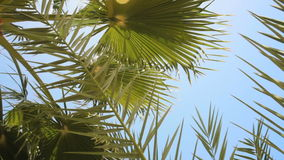 Perfect palm trees against a beautiful blue sky.  stock video footage