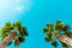 Perfect palm trees against a beautiful blue sky. Palm Trees - Perfect palm trees against a beautiful blue sky Stock Images