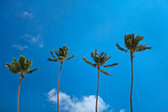 Perfect paradise coconut palm trees. Four perfect paradise coconut palm trees against clear blue sky with some clouds stock photos