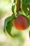 Perfect Peach Royalty Free Stock Photos