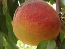 Perfect Peach Close-up stock photography