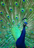 Perfect Peacock Stock Photo