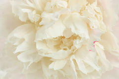 Perfect peony Stock Photos