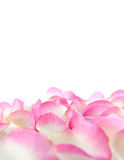 Perfect petals of pink roses Stock Photos
