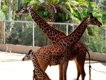 Happy family of giraffes stock image