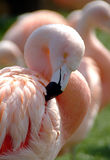 Perfect pink. Flamingo Royalty Free Stock Image