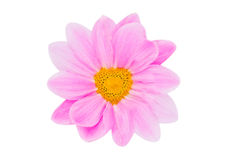 Perfect Pink Daisy Flower Shaped Heart Stock Photo