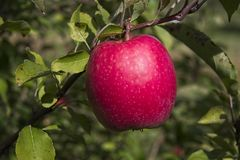 Free Perfect Pink Lady Apple On Branch Royalty Free Stock Photography - 161545607