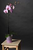 Perfect pink orchids. Blossoming orchid, isolated on black background. Subtle color Royalty Free Stock Image
