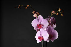 Perfect pink orchids. Blossoming orchid, isolated on black background. Subtle color royalty free stock images