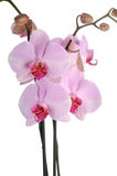 Perfect pink orchids. Blossoming orchid, isolated on white background. Subtle color Stock Photography