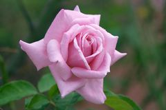 Perfect Pink Rose. A perfect pink rose growing in a garden royalty free stock photo