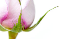 Perfect pink rose isolated Stock Images