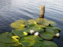 Perfect Place For Fishing - Water Lily. Water Lily stock images