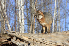 Perfect poser. Grey Fox posing perfectly on big log Royalty Free Stock Images