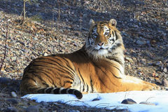 Perfect poser. A siberian tiger posing in the early morning light in the mountains Royalty Free Stock Image