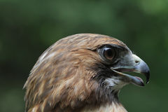 Free Perfect Profile RT Hawk Stock Photos - 32357113