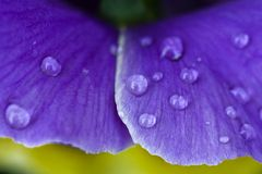 Perfect purple. Droplets of water on a purple leaf Royalty Free Stock Photos