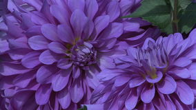 Perfect purple asters zoom out. Video of perfect purple asters zoom out stock video