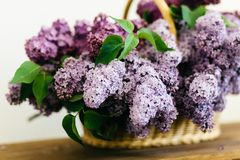Perfect purple lilac flowers bunch in a basket on wooden table. Purple lilac flowers bunch in a basket on wooden table on white background stock image