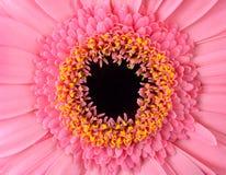 Perfect Różowy Gerbera nagietka kwiat Makro- obraz stock