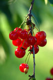 Perfect Red Cherries on the Tree Stock Photo