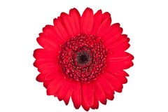 Perfect Red Gerbera Royalty Free Stock Photography