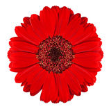 Perfect Red Gerbera Flower Isolated on White stock photography