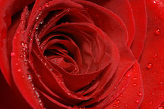 Perfect red rose petals close up with water drops Royalty Free Stock Images