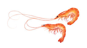Perfect red shrimps illustration isolated on white background Stock Photo