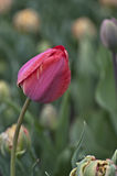 Perfect Red Tulip Bud Stock Image