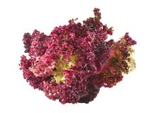 Perfect Ripe Lollo Rosso Lettuce. Perfect Ripe Lollo Rosso Lettuce on white background Royalty Free Stock Photography
