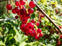 Free Perfect Ripe Redcurrants On The Branch Between Green Leaves In The Sunlight Stock Images - 195361034